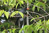 Black-fronted Nunbirdborder=