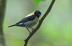 Black-headed Tanager