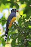 Black-headed Trogonborder=