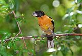 Black-headed Grosbeakborder=
