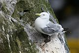 Black-legged Kittiwakeborder=