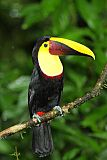 Yellow-throated Toucanborder=