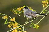 Black-tailed Gnatcatcher
