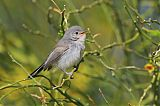 Black-tailed Gnatcatcherborder=