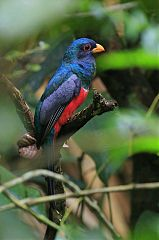 Black-tailed Trogon