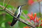 Black-throated Mango