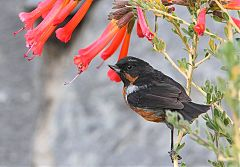 Black-throated Flowerpiercer