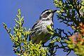 Black-throated Gray Warblerborder=