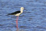 Black-winged Stiltborder=