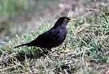Eurasian Blackbirdborder=