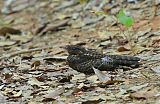 Blackish Nightjar