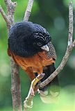 Blue-billed Curassow