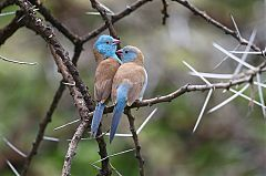 Blue-capped Cordonbleu
