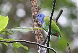 Blue-headed Parrotborder=
