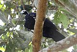 Blue-throated Piping-Guan