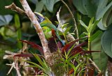 Northern Emerald-Toucanetborder=