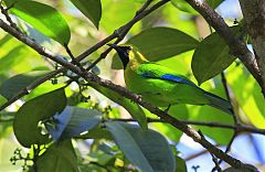 Blue-winged Leafbird