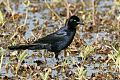 Boat-tailed Grackleborder=