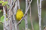 Bright-rumped Yellow-Finchborder=