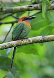 Broad-billed Motmotborder=
