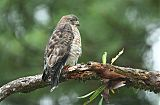 Broad-winged Hawkborder=