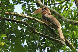 Brown Hornbillborder=