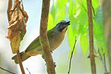 Buff-throated Saltatorborder=