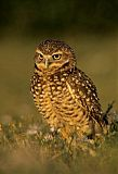 Burrowing Owlborder=