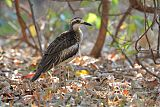 Bush Thick-knee