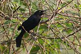 Carib Grackleborder=