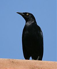 Carib Grackle