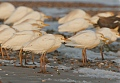 Cattle Egretborder=