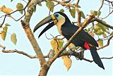 Channel-billed Toucanborder=