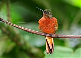 Chestnut-breasted Coronetborder=