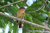 Chestnut-crowned Becard