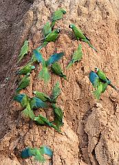 Chestnut-fronted Macaw