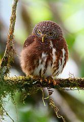 Cloud-forest Pygmy-Owl