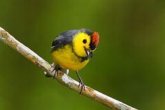 Collared Redstart