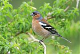 Common Chaffinchborder=