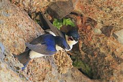 Common House-Martin