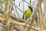 Common Tody-Flycatcherborder=