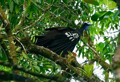 Trinidad Piping-Guan
