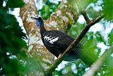 Trinidad Piping-Guan