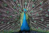Indian Peafowlborder=