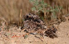Common Poorwill