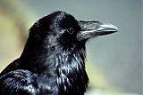 Common Ravenborder=