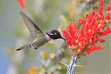 Costa's Hummingbirdborder=