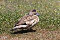 Crested Duckborder=