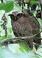 Crested Owlborder=