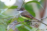 Dusky-capped Flycatcherborder=